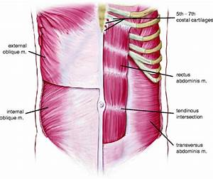 Anatomy Of The Anterior Abdominal Wall