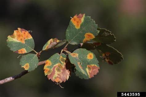serviceberry amelanchier rust utah utahensis