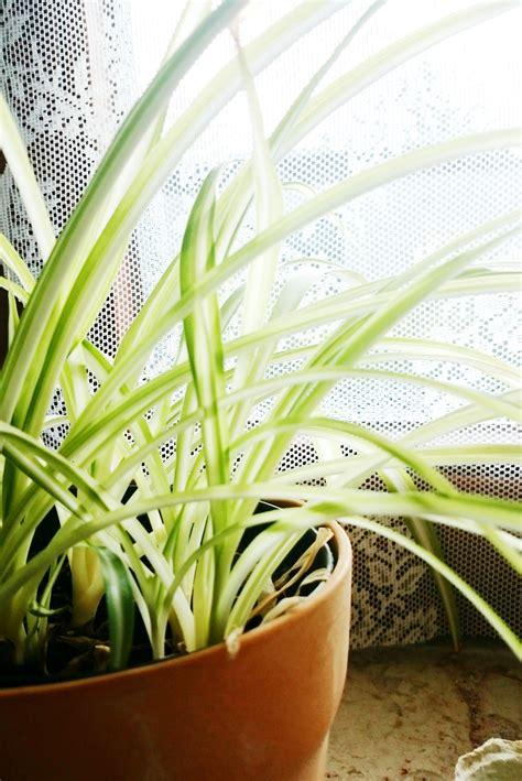 Zimmerpflanzen Portraet Gruenlilie by Zimmerpflanzen Die Auch Bei Dir 252 Berleben