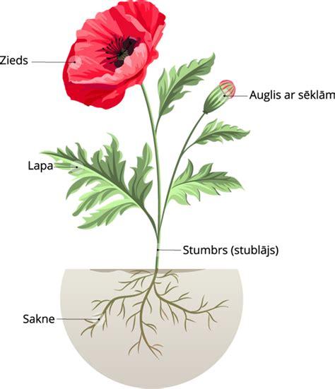 Augiem raksturīgās daļas. — teorija. Dabaszinības pēc ...
