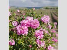 Rose Damask Rosa damascena Perfume, 10ml