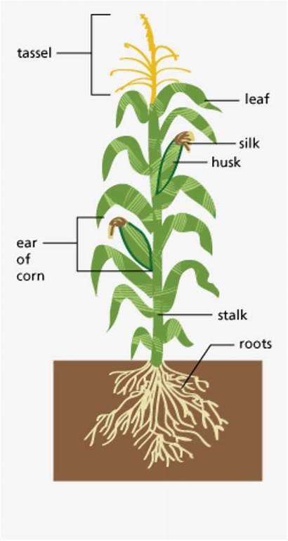 Diagram Plant Parts Edible Corn Clipart Clipartkey