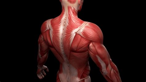 Muscular system chart of the human body with muscles labeled. Human muscles from stem cells: Advance could aid research ...