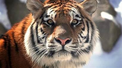 Leopardos Tigres Naturaleza