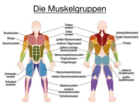 Muscles chart description muscular body man. Six pack abs Stock Vectors, Royalty Free Six pack abs Illustrations | Depositphotos®