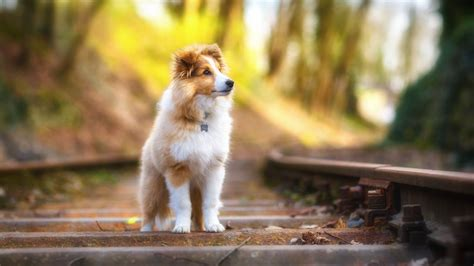 Pet Animals Wallpapers - wallpaper shetland sheepdog hd 4k animals 9569