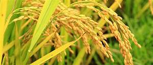 Golden Rice Approved For Sale To Canada But No Plans For