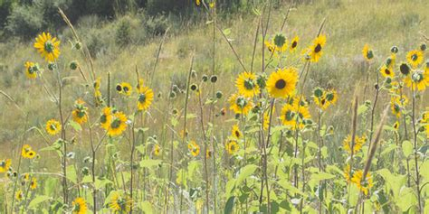 Garden Of The Gods Flowers by Yellow Flowers Garden Of The Gods Coursey Flickr