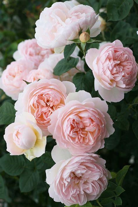 ~gentle Hermione David Austin English Rose Bouquet