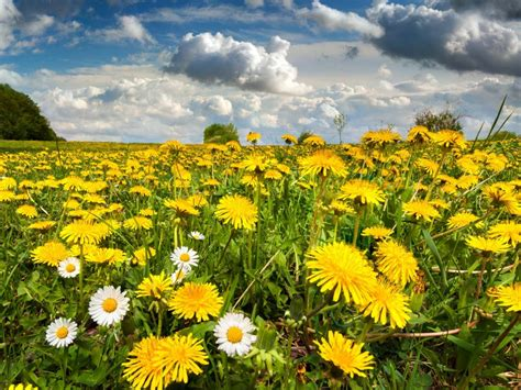 dandelion meadow flowers spring clouds beautiful desktop