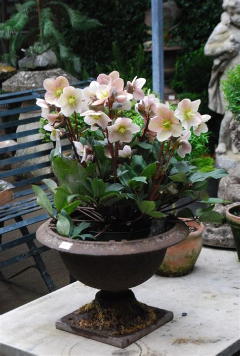 growing hellebores in containers helleborus orientalis dirt simple