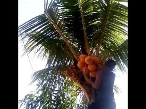 detik detik anak jatuh saat memanjat pohon kelapa youtube