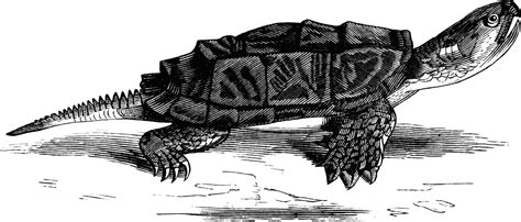 Snapping turtle | ClipArt ETC