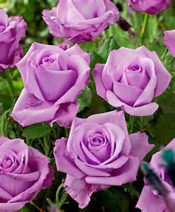 Lavender Roses Sterling Silver