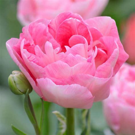 longfield gardens tulip angelique bulbs  pack