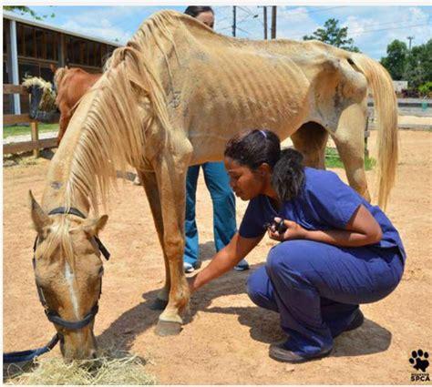 spca horses houston horse farm 200 conroe rescued texas rescues near help ranch seizure donations neglected needed still custody than