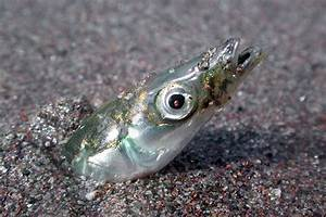 Act Now  Urge Noaa To Support Unmanaged Forage Fish In The