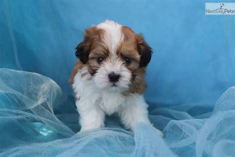 havanese puppy  sale  greensboro north carolina