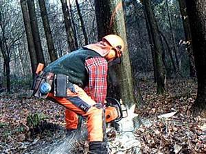 Baum Fällen Technik : baumf llung in kleinen schritten teil 3 youtube ~ A.2002-acura-tl-radio.info Haus und Dekorationen