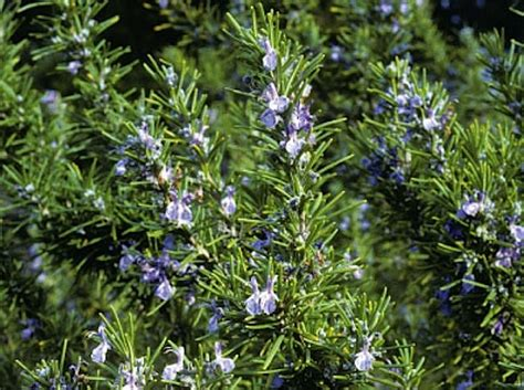 rosemary plant picture rosemary tuscan blue herb plant gardenista