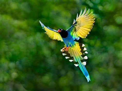 colorful toucan bird flying spread wings tail hd desktop