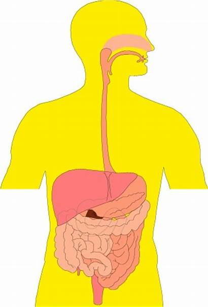 Digestive System Clipart Human Clip Section Cross