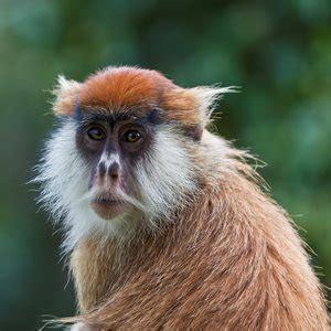 amazing monkey facts  trivia factretriever