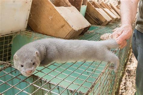 breaking millbank fur farm  canada charged