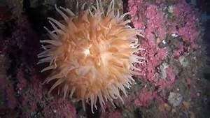Sea Anemone Youtube