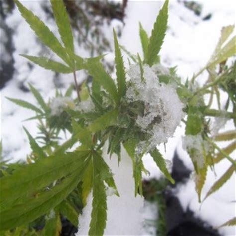 comment faire pousser du cannabis en hiver sensi seeds comment faire pousser du cannabis en