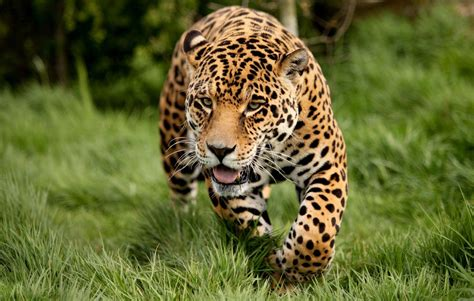 Live Animal Wallpapers Free For Pc - running leopard wallpaper hd