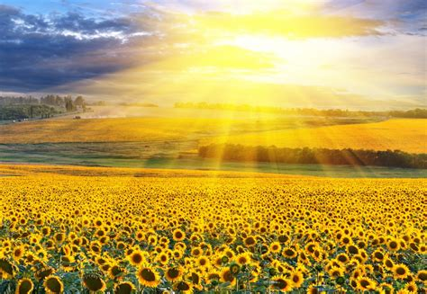 energie sprüche sunflowers on the sun global freezing your