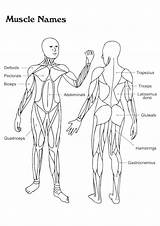 Coloring Anatomy Pages Human Muscle Organs Toddler Sheets Physiology Systems Diagrams Muscles Names System Diagram Brain Skeleton Dance Story Biology sketch template