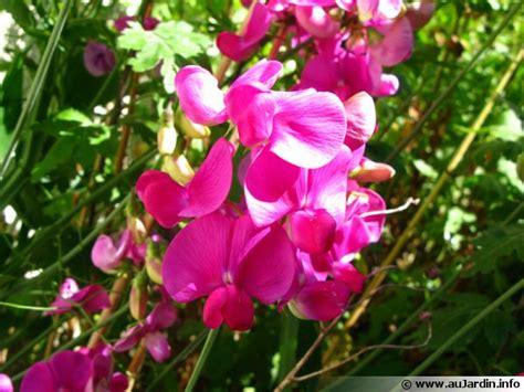 légumes à cuisiner pois de senteur lathyrus odoratus planter cultiver multiplier
