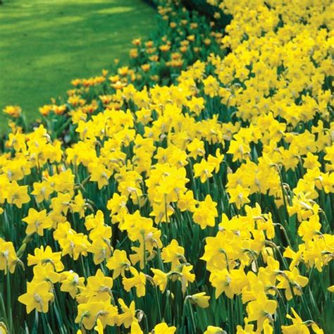 deer resistant blooms yellow daffodils for