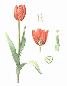 Tulip Anatomy