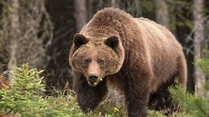 B.C.'s grizzly bear conservation strategy failing ...  Grizzly