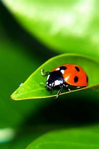 640x960 Ladybug On A Leaf Desktop Pc And Mac Wallpaper