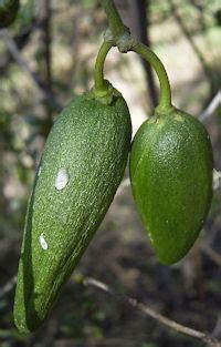 marsdenia bushfood bush tucker taste australia