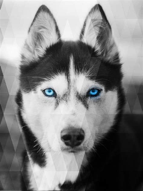 husky wallpapers top free husky backgrounds