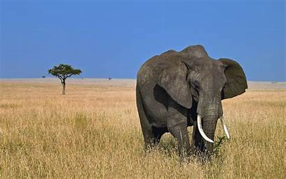 Wild Elephant Wallpapers Animals Animal Desktop Amazing