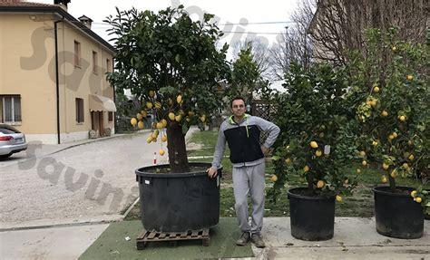 piante di limoni in vaso serra per limoni in vaso