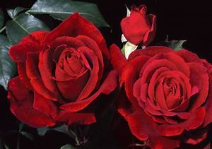 Top 10 Best Roses