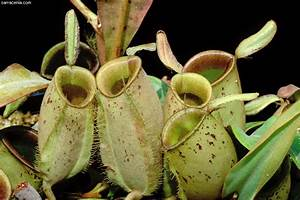 The Carnivorous Plant FAQ: Are there any vegetarian ...