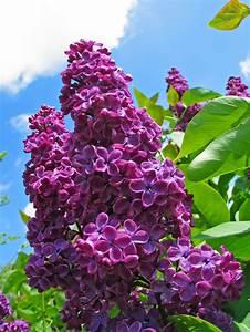 Wann Blüht Flieder : flieder schneiden wann und wie zur ckschneiden plantura ~ Lizthompson.info Haus und Dekorationen