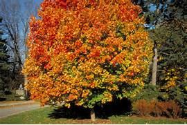 Commemoration Sugar Ma...Sugar Maple Tree