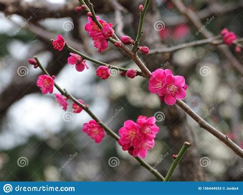 Close Up Of Pink Japanese Cherry Blossoms Stock Image