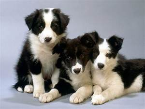 Border Collie Breed Guide - Learn about the Border Collie.