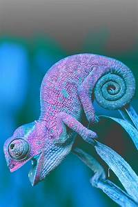 cool chameleon pictures photos and images for