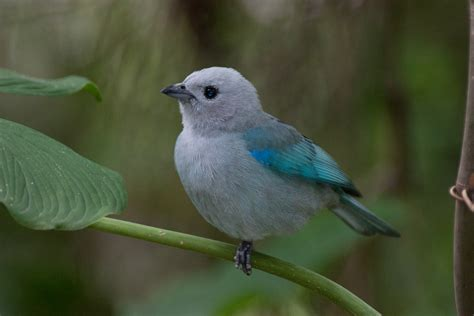 fileblue grey tanager thraupis episcopusjpg wikimedia